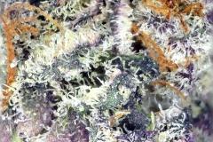 Strain: Purple Punch - Grower: Altitude Organic Medicine Platte -  Microscope: Dinolite AM4815ZT
