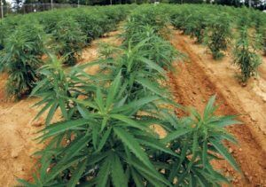 reschedule Marijuana Farms Marijuana Annual Crop Reports
